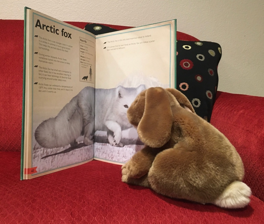 Caramel is checking out the arctic fox in The Magnificent Book of Animals, illustrated by Val Walerczuk and written by Tom Jackson.