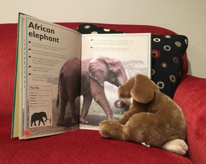 Caramel is reading more about the African elephant in The Magnificent Book of Animals, illustrated by Val Walerczuk and written by Tom Jackson.